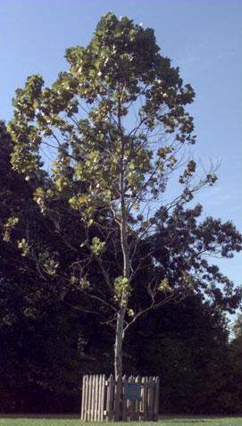 نمونه ای از درختان ماه